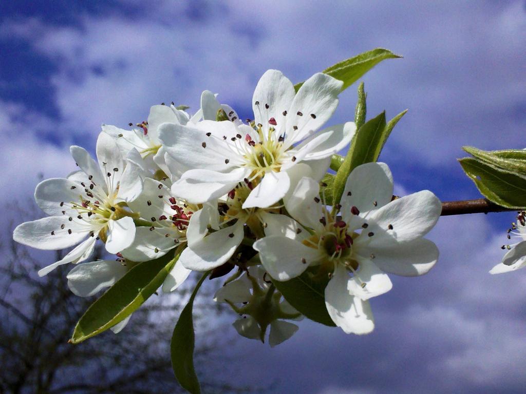 Foto: Anne Kathrin Frihs Birnenblüten