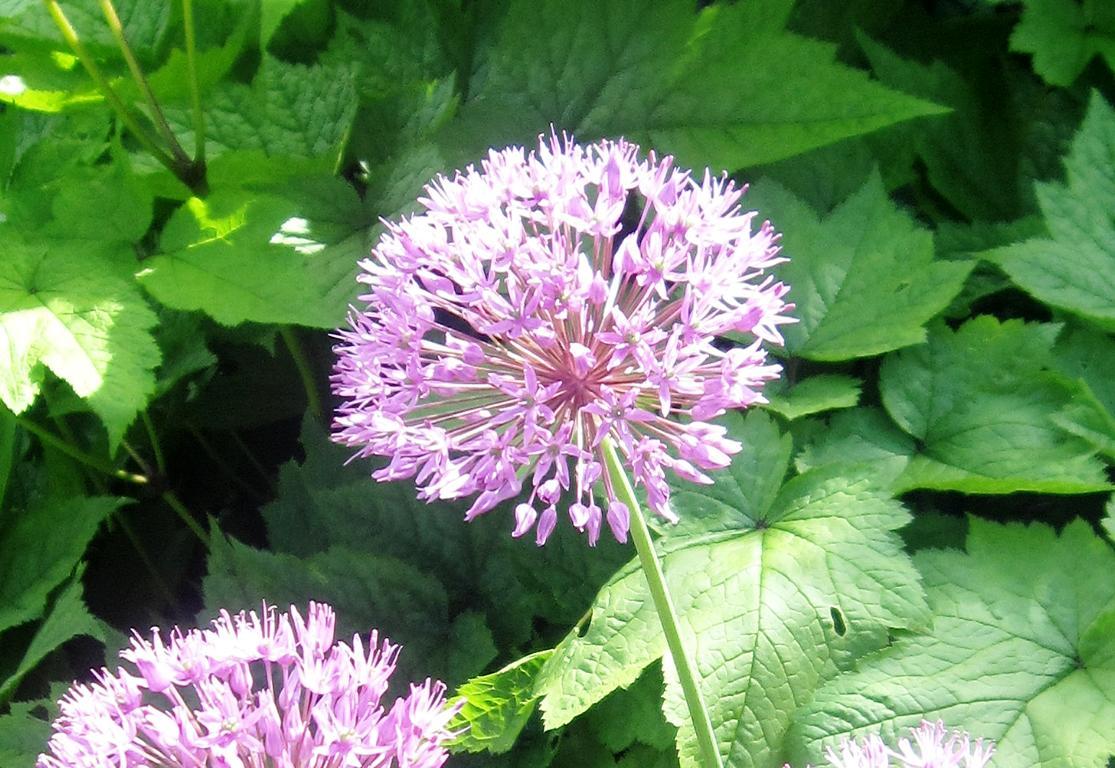 K1024 Allium